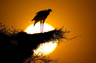 Secretary Photograph - Secretary Bird Sagittarius Serpentarius by Panoramic Images
