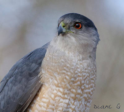 Photograph - Sharp-shinned Hawk by Diane Giurco