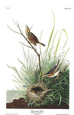 Finch Wall Art - Painting - Sharp-tailed Finch by John James Audubon