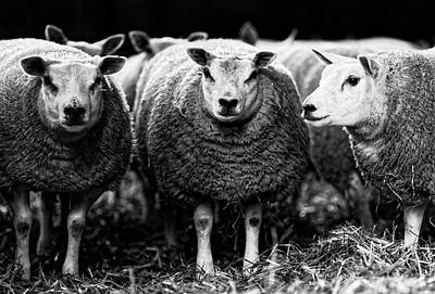 Photograph - Sheep by David Harding