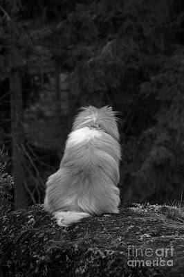 Philosophizing Photograph - Sheltie by Allan Wallberg