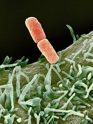Shigella Bacteria, Sem Art Print by Spl
