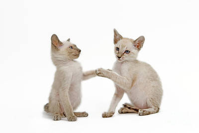 Photograph - Siamese Cat Kittens by Jean-Michel Labat
