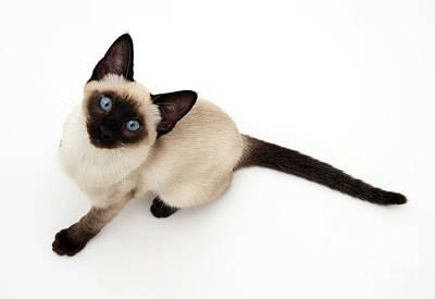 Photograph - Siamese Kitten by Jane Burton