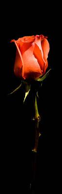 Photograph - Single Rose by Avril Christophe