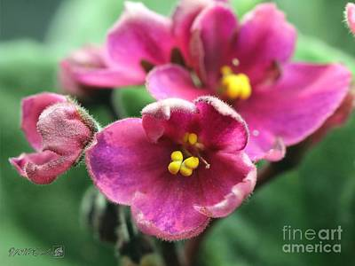 Photograph - Single Rose Wine African Violet by J McCombie