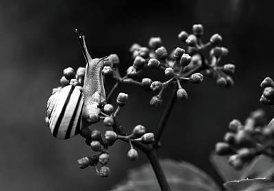 Photograph - Snail On Plant by Adina Voicu