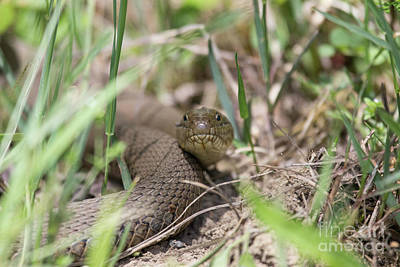Photograph - Snake by Jeannette Hunt