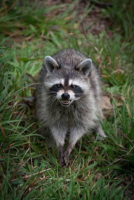 Photograph - Snarling Raccoon by Joye Ardyn Durham
