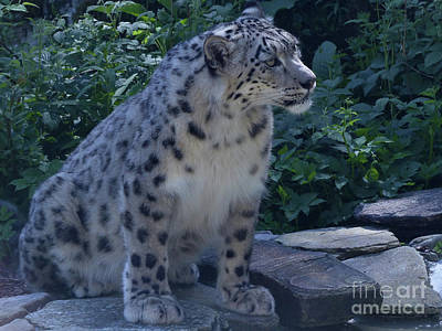 Photograph -  Snow Leopard by Phil Banks