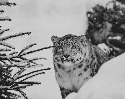 Photograph - Snow Leopard by Pixabay