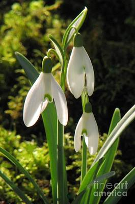 Photograph - Snowdrops by Frank Townsley