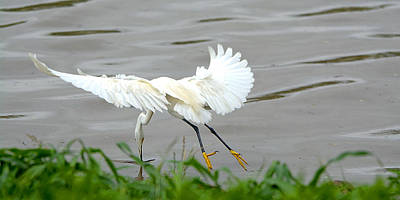 Snowy Egret Finding Nesting Materials Art Print by Roy Williams