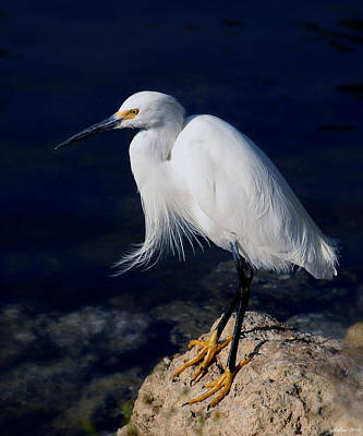 Photograph - Snowy Egret by Joseph G Holland