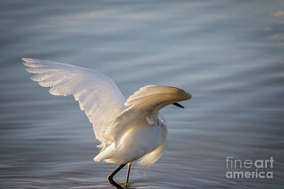 Photograph - Snowy Egret by Richard Smith