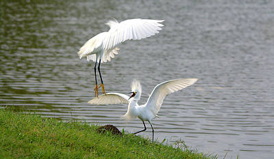 Coy Fish Michael Creese Paintings - Snowy Egrets Fighting by Roy Williams