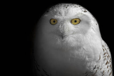 Photograph - Snowy Owl by Angie Rea