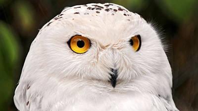 Cats Digital Art - Snowy Owl by Super Lovely