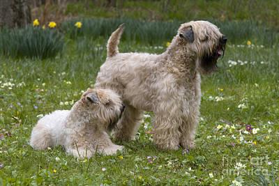 Soft Coated Wheaten Terrier Photograph - Soft-coated Wheaten Terriers by Jean-Louis Klein & Marie-Luce Hubert