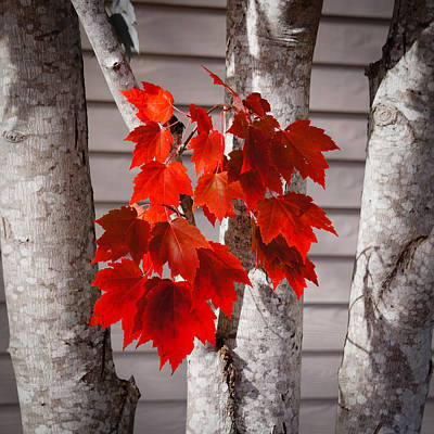 Photograph - Some Red Leaves by Ronda Broatch