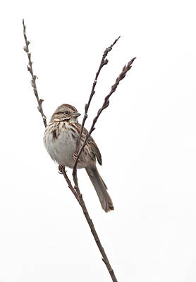 Photograph - Song Sparrow by Jim Zablotny