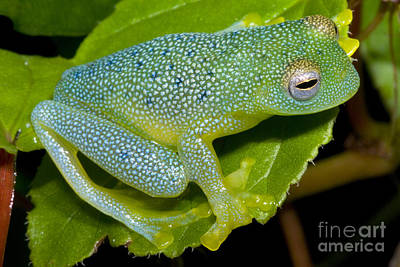 Central American Frogs Photograph - Spiny Glass Frog by Dante Fenolio