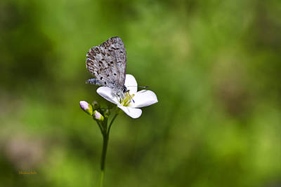 Butterfly On Blue Flower Photograph - Spring Azure Butterfly by Christina Rollo