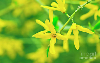 Photograph - Spring Forsythia by Verena Matthew