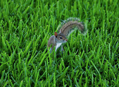 Photograph - 2- Squirrel by Joseph Keane