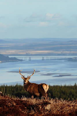 Photograph - Stag Overlooking The Beauly Firth And Inverness by Gavin Macrae