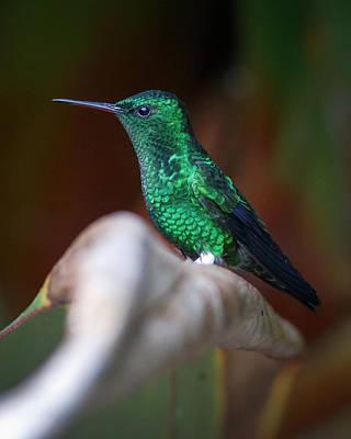 Photograph - Steely-vented Hummingbird Quindio Colombia by Adam Rainoff