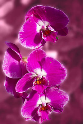 Stunning Orchids Art Print by David French