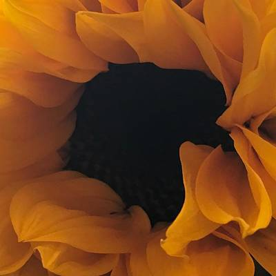 Photograph - Sunflower by Anne Thurston