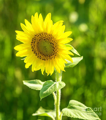 Photograph - Sunflower by Cathy Donohoue