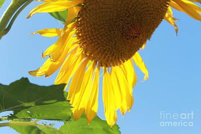 Photograph - Sunflower by Pamela Walrath