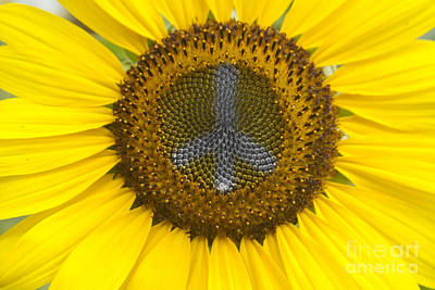 Bo Insogna Photograph - Sunflower Peace Sign by James BO  Insogna