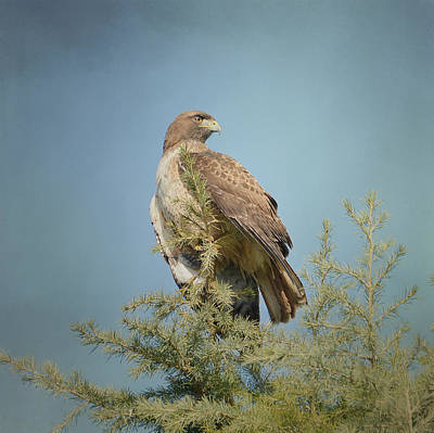 Red Tail Hawks Photograph - Surveillance by Fraida Gutovich