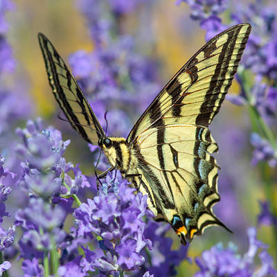 Photograph - Swallowtail Butterfly by Jack Bell