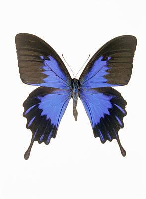 Swallowtail Butterfly Art Print by Lawrence Lawry