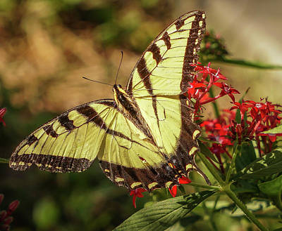 Photograph - Swallowtail by Jane Luxton