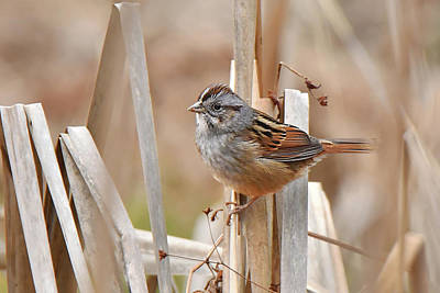 Photograph - Swamp Sparrow by Alan Lenk