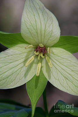 Photograph - Sweet White Trillium by Barbara Bowen