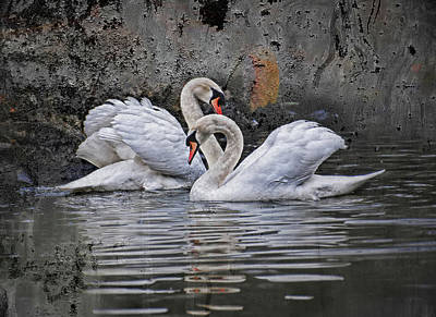 Birds Rights Managed Images - Tango of the swans Royalty-Free Image by Joachim G Pinkawa