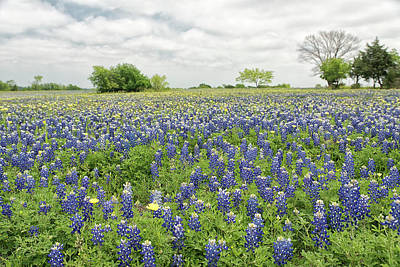 Photograph - Texas Bluebonnets 7 by Victor Culpepper