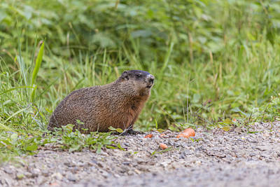 Photograph - The Beaver by Josef Pittner