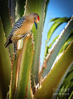 Photograph - The Gila Woodpecker by Robert Bales