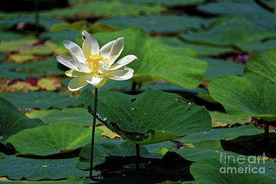 Photograph - The Lotus Pond by Paul Mashburn