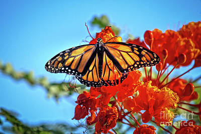 The Resting Monarch Art Print by Robert Bales