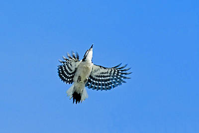 Picoides Villosus Photograph - The Sky Is My Limit by Asbed Iskedjian