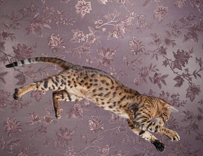 Photograph - The Young Bengal Cat Jumping. by Alex Potemkin
